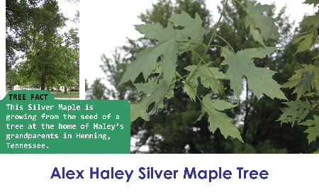 Alex Haley Silver Maple_thumb.png