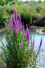 Purple Loosestrife.jpg