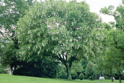 Dogwood tree.jpg