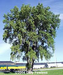 Eastern Cottonwood.jpg