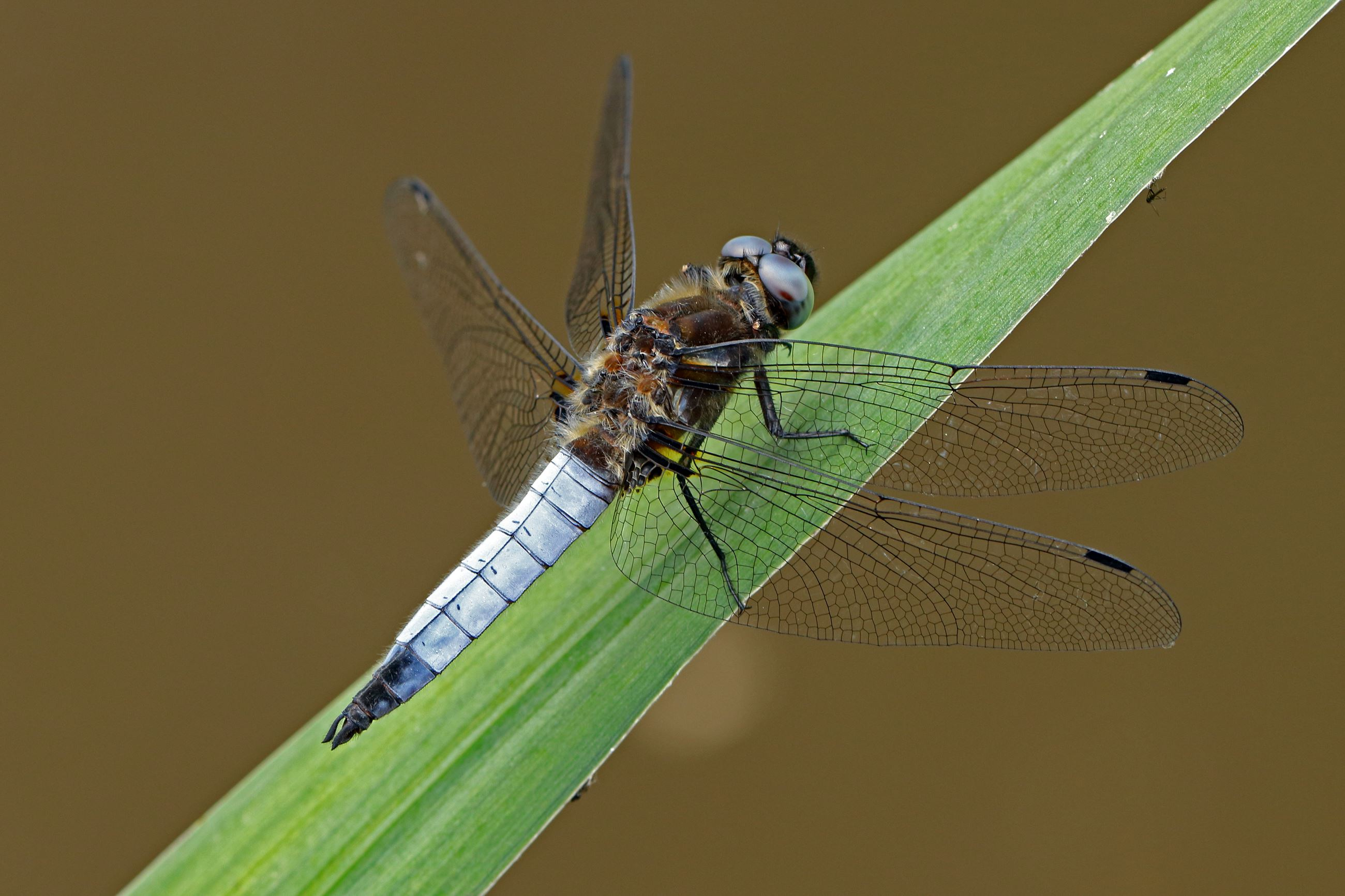 iStock-1197325334 Dragonfly