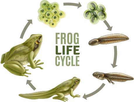 iStock-1201270856 [Converted] lifecycle of a frog