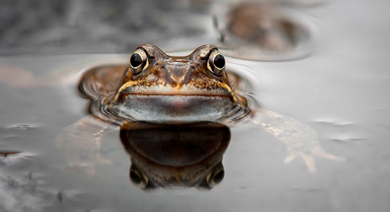 iStock-1034522726 (1) frog in water