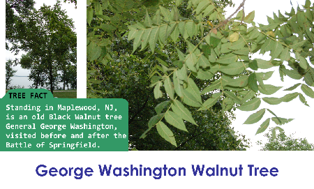 George Washington Walnut