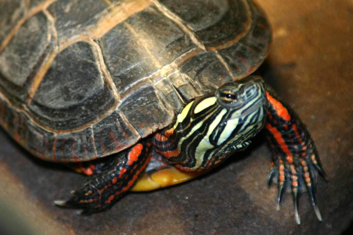 Baby Western Box Turtle